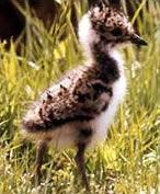 Lapwing Chick (Springwatch BBC 2009)
