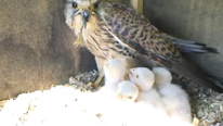 Kestrel and Chicks (Springwatch BBC 2009)